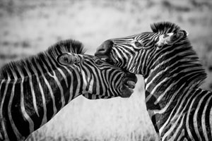 Featured Art: Zebra Theme